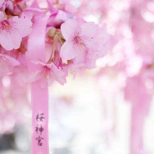 桜神宮の公式写真2枚目