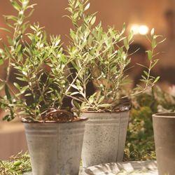 夫婦の木 オリーブの写真 4枚目